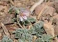 Erodium laciniatum pulverulentum 1.jpg
