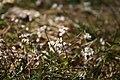 Erophila-verna-flowers.jpg