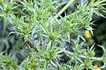 Eryngium campestre 4.jpg