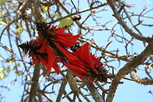 Flower of Erythrina lysistemon