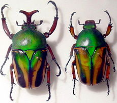 Escaravellos Beetles GFDL.jpg