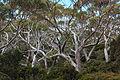 Eucalyptus coccifera forest — Tindo2.jpg