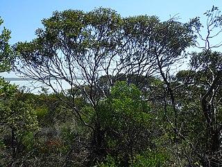 <i>Eucalyptus conglobata</i> species of plant