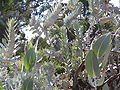 Eucalyptus macrocarpa leaves and stems.jpg