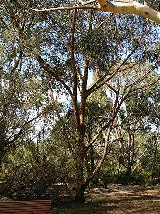 Eucalyptus piperita - Image: Eucalyptus piperita