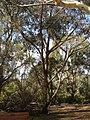 Eucalyptus piperita.jpg