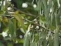 Eucalyptus tereticornis (3781805634).jpg