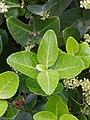 Euonymus japonicus 2.JPG