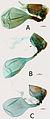 Euphaedra sarcoptera female genitalia - ZooKeys-298-001-g012.jpg