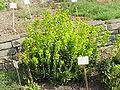 Euphorbia amygdaloides1.jpg