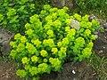 Euphorbia amygdaloides - Berlin Botanical Garden - IMG 8500.JPG