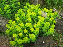 A group of unbranched herbs grow beside a plant label. The upper leaves and bracts grade from green to yellow.