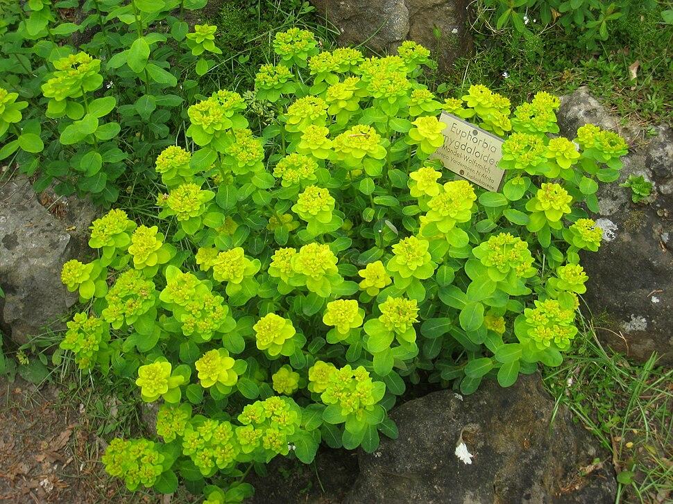 Euphorbia amygdaloides - Berlin Botanical Garden - IMG 8500