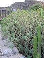 Euphorbia balsamifera2.jpg