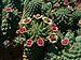 Euphorbia caput-medusae 01.JPG