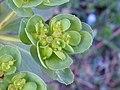 Euphorbia helioscopia 04.jpg