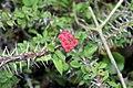 Euphorbia milii 20zz.jpg