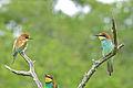 European Bee-eaters (Merops apiaster) (16506092720).jpg