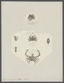 Eurynome aspera - - Print - Iconographia Zoologica - Special Collections University of Amsterdam - UBAINV0274 095 07 0002.tif