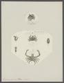 Eurynome aspera - - Print - Iconographia Zoologica - Special Collections University of Amsterdam - UBAINV0274 095 07 0002.tif