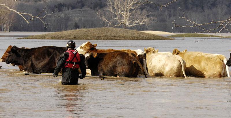 File:FEMA - 34524 - Members of the Missouri Humane Society resuce cattle in Missouri.jpg
