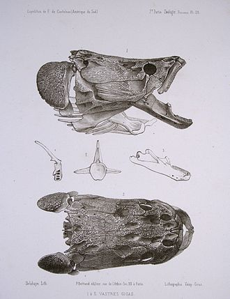 Arapaima - Skull from side and above