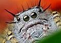 Face of a Phidippus mystaceus jumping spider.(adult female).jpg
