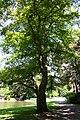 Fagus grandifolia JPG1Ms.jpg