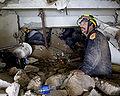 Fairfax County Urban SAR conducting rescue ops inside Montana Hotel 2010-01-14.jpg