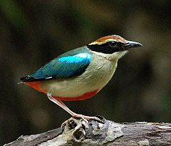Fairy Pitta 3073 crop.jpg