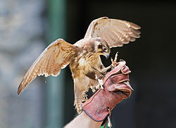 meaning of falconry