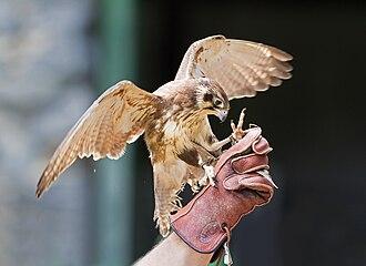 Brown falcon - A brown falcon used for falconry in Tasmania