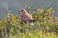 Falco tinnunculus Cuckmere Haven 1.jpg