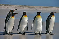Falkland Islands Penguins 36.jpg