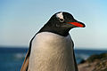 Falkland Islands Penguins 69.jpg