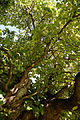 Feeringbury Manor split double trunk tree canopy, Feering Essex England 2.jpg