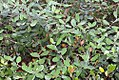 Feijoa sellowiana 10zz.jpg