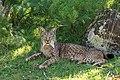 Female Iberian Lynx (Lynx pardinus), La Lancha, Parque natural de la Sierra de Andújar, Andalucía, España - Flickr - Frank.Vassen.jpg