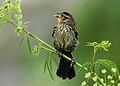Female Red-winged Blackbird.jpg