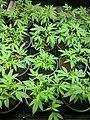 Female cannabis plants in the vegetative (pre-bloom) phase.jpg