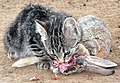 Feral-kitten-eating-adult-cottontail-rabbit.jpg