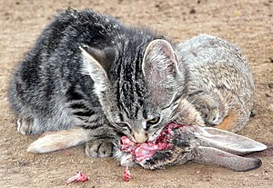 Raw feeding - A kitten feeding on a cottontail rabbit.