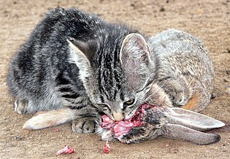 Cat food - Kitten eating cottontail rabbit.