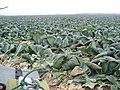 Field near Guadelupe, CA. (10376475894).jpg