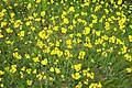 Field of Yellow (5740890).jpg