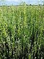 Filago vulgaris sl291.jpg