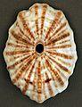 Fissurella barbadensis (Barbados keyhole limpet) (San Salvador Island, Bahamas) 1 (16190039292).jpg