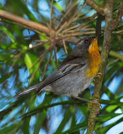 Flame-throated Warbler (edited).jpg