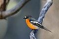 Flame Robin (Petroica phoenecia) (42956227435).jpg