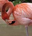 Flamingo Head 2 (4385246552).jpg